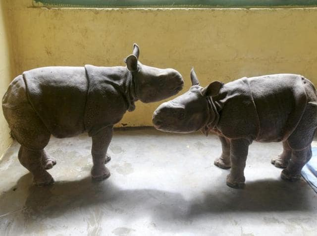 Two of the rhino calves that were rescued by the Centre for  Wildlife rehabilitation near Kaziranga National Park in Assam.