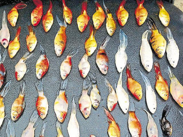 Keeping fish in tiny bowls spell certain death for them, say animal welfare experts.