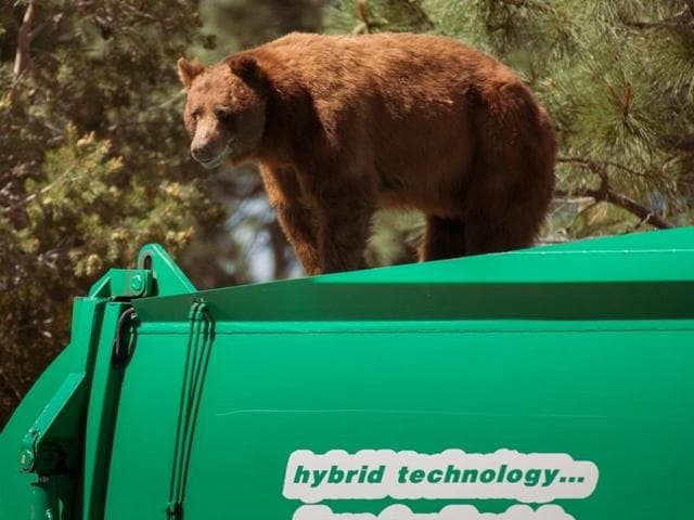 A bear hitches a ride on top of a garbage truck in Los Alamos.