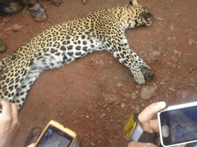 Leopardess electrocuted,Maharashtra,Satara