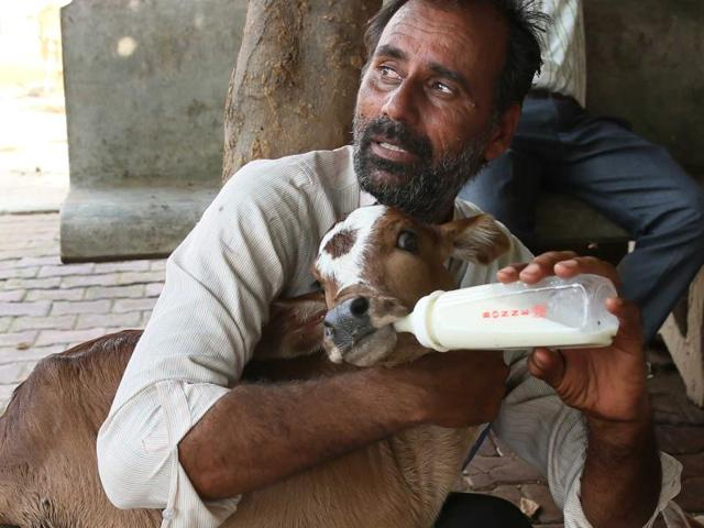 Kailash Singh Choudhary, a volunteer, feeds a day old calf rescued from the Hingoniya cow rehabilitation centre.