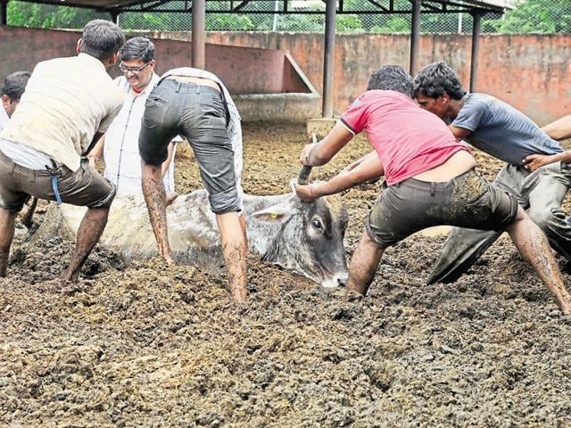 Municipal employees take away carcasses of cows.