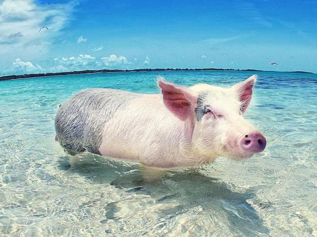 Today we're heading to the Bahamas, more precisely to the Exumas archipelago, where visitors can take a dip alongside the local population of wild pigs.