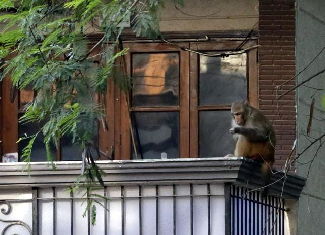 The animals have become a threat to senior citizens visiting temples in the morning.