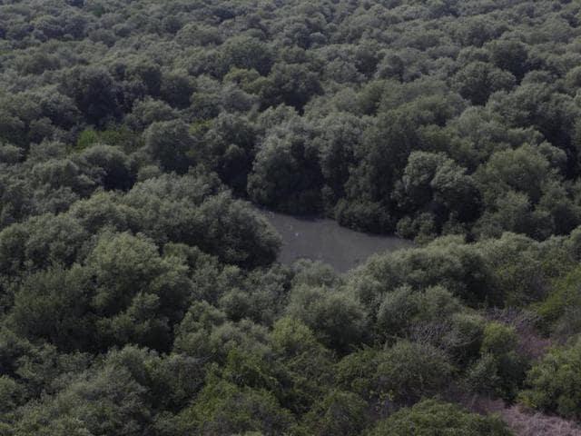 Mangroves,Mira-Bhayander Municipal Corporation,Vasai Creek