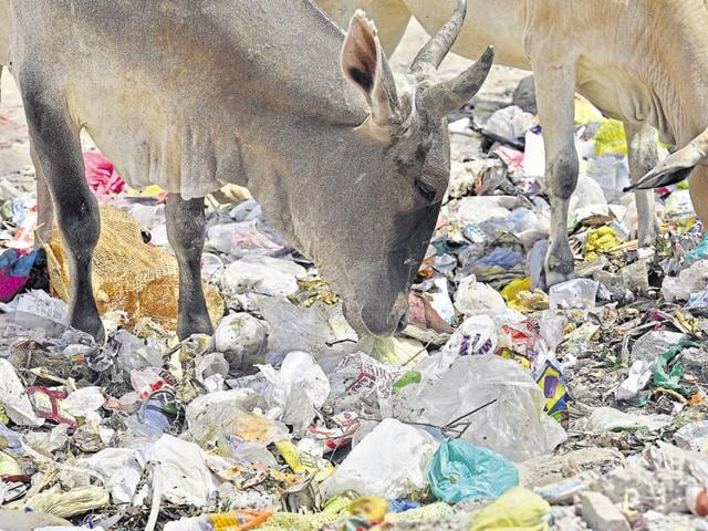 The lack of grazing space in cities has resulted in abandoned cows eating whatever comes their way, even plastic.
