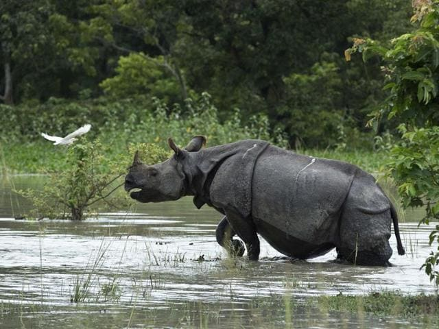 A one-horned Rhinoceros wades through flood waters at the Pobitora Wildlife Sanctuary that was flooded following heavy monsoon rains at Pobitora, east of Gauhati.