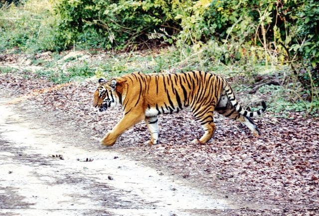 Tigers have been spotted moving out to neighbouring forest divisions of Lansdowne, Haldwani, Ramnagar, Terai East, Terai West and Terai Central.