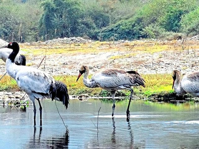 Found only in India, China and Bhutan, black-necked cranes are a vulnerable species. The Environment Impact Assessment report of a proposed hydroelectric project in the Zemithang Valley in Arunachal Pradesh did not mention that the valley is one of the few wintering sites of the birds globally. After the fact was brought out by locals, the NGT suspended the project's environment clearance.