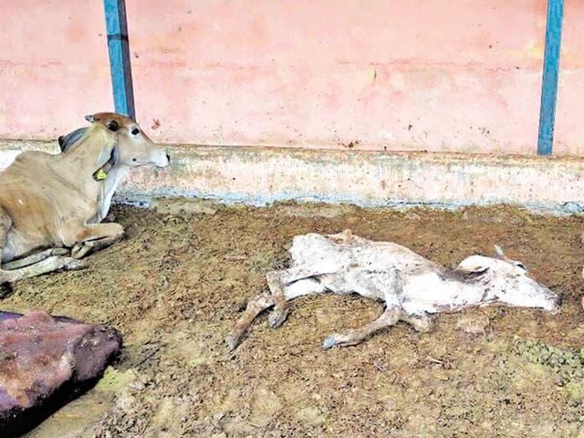 Hingonia cow rehabilitation centre