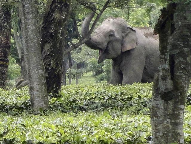 (Representative image) An 18-year-old elephant died after being captured and kept at the Varagaliar Elephant Camp at Tamil Nadu.(Ankush Saikia/HT File Photo)