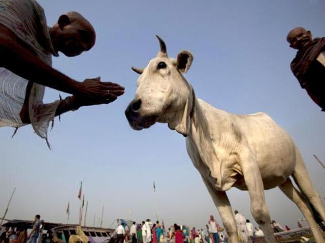 Gau Rakshak,Cow,cow vigilante