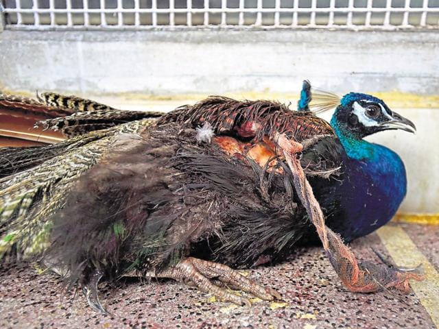 A peacock that was injured by a kite string.(Ajay Aggarwal/HT Photo)
