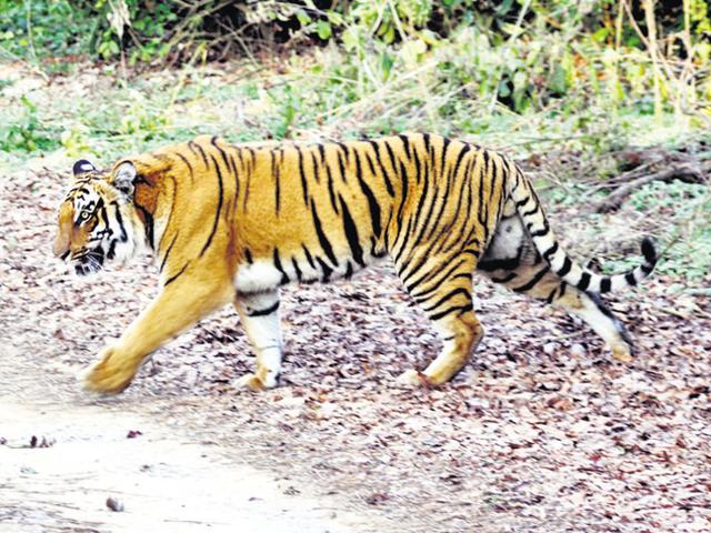 Jai has been missing from the Umred-Karhandla wildlife sanctuary near Nagpur since April 18.