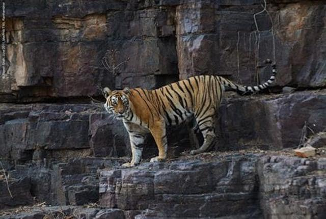 Machli was the world's oldest-surviving tiger in the wild.(Photo credit: Facebook page- The Queen of Tigers)