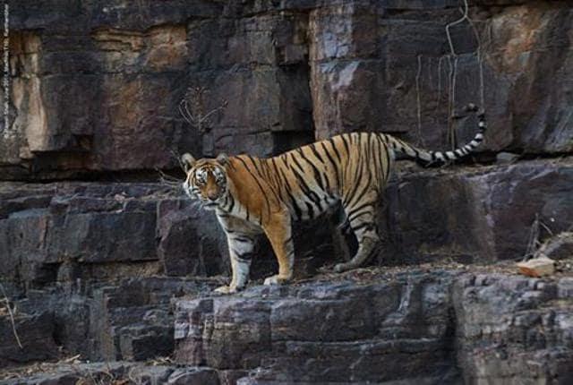 Machli was the world's oldest-surviving tiger in the wild.