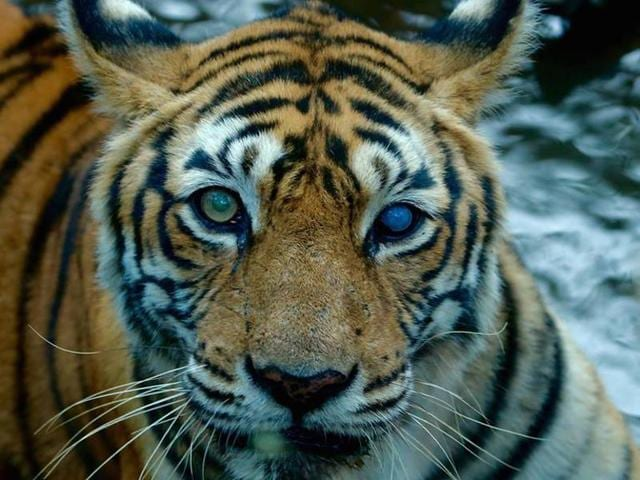 Machali was the longest-surviving tigress in the park at the age of 19.