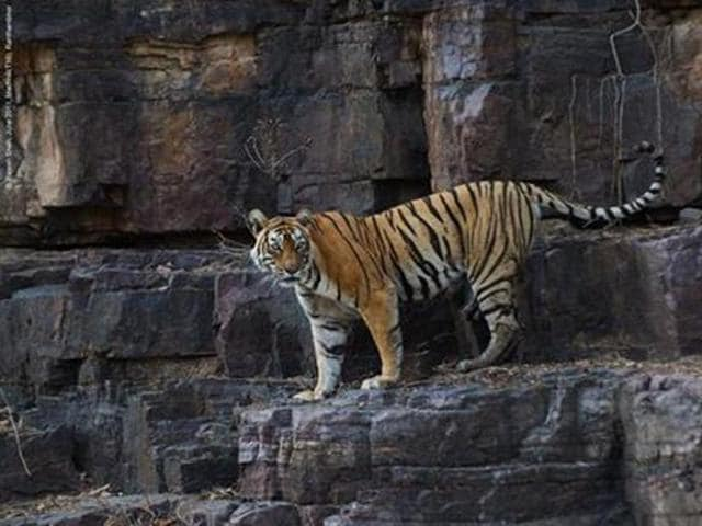 Machli was also known as the' Lady of the Lake ', as she was typically found along the water territory of Ranthambore. (Photo: Machli's Facebook page)
