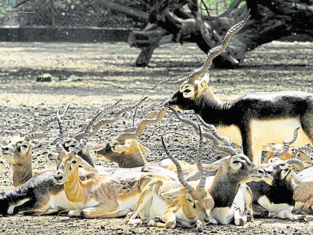 Blackbucks will be brought to the sanctuary from Mahendragarh district in the state.