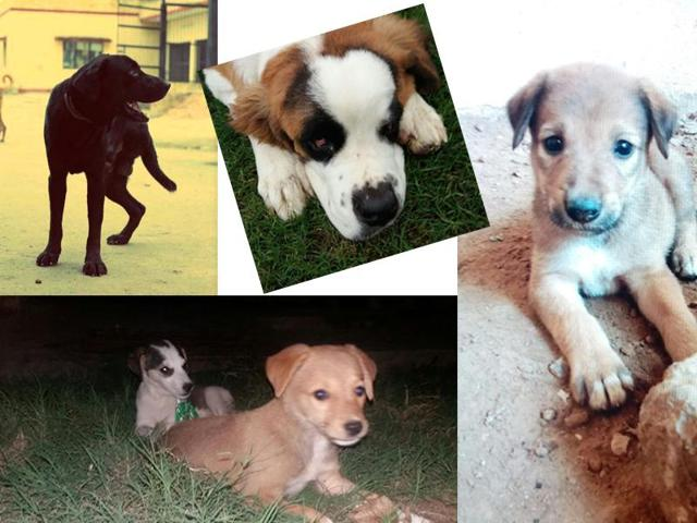 This week, we have indie pups, a loving Labrador and a St Bernard baby.