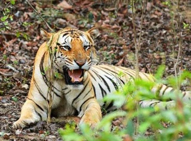 Maharashtra,Tiger,Jai