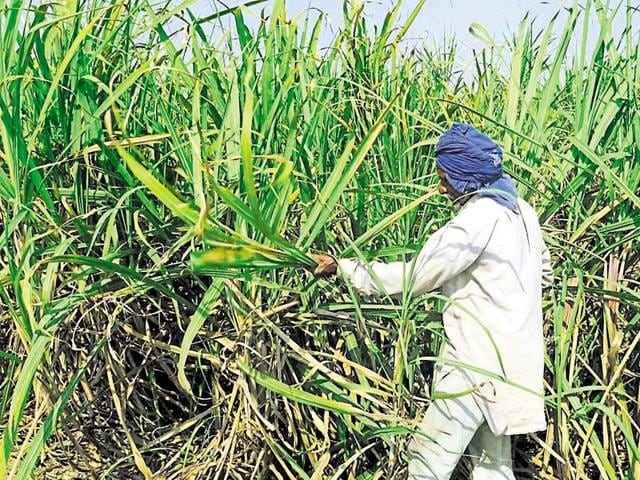 A farmer inspecting his sugarcane crop at Simbro village near Patiala on Monday.