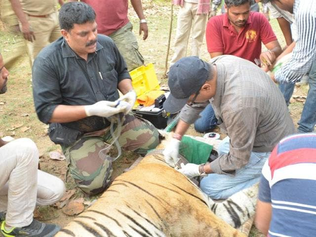 Forest officials fit a radio-collar on a tiger at Sanjay Tiger Reserve in Sidhi district.