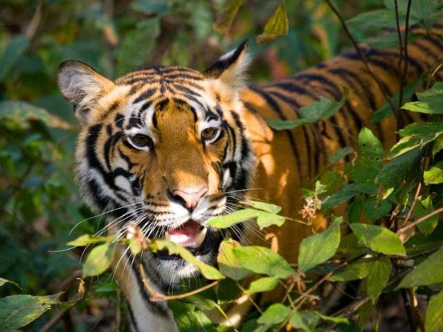 Experts claim high tiger population in limited areas lead to conflict, overlapping of tiger habitat and also infanticide.
