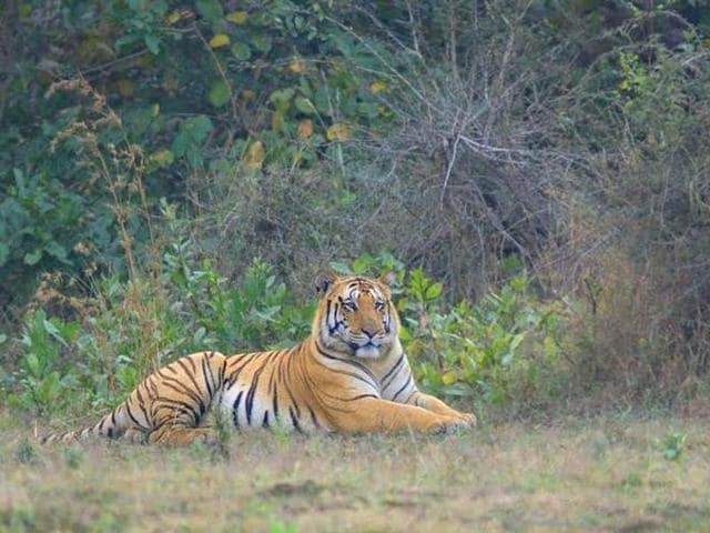 Jai, the seven-year-old tiger went missing from Umred Karhandla Wildlife Sanctuary near Nagpur on April 19.