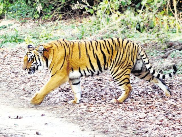 Search forJai, the tiger continued after it went missing from Umred Karhandla wildlife sanctuary near Nagpur.