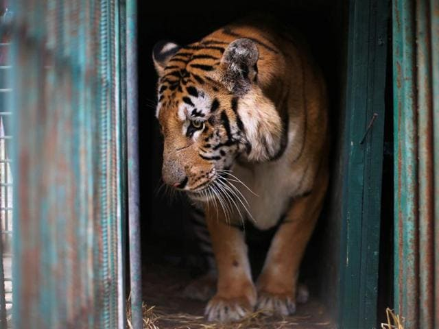 A tiger named Laziz stands in its enclosure before it is taken out of Gaza by Four Paws International, at a zoo in Khan Younis in the southern Gaza Strip.