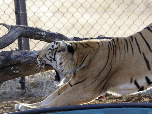Laziz the tiger,Gaza zoo closes,Animals rescued