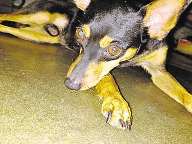 Coocoo, the Pinscher that was killed.