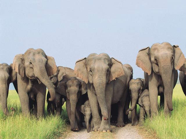 A herd of elephants at Corbett National Park.