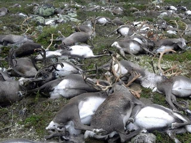 More than 300 wild reindeer have been killed by lightning in central Norway.