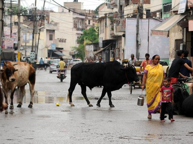 Stray animals roaming in Patiala on Monday.