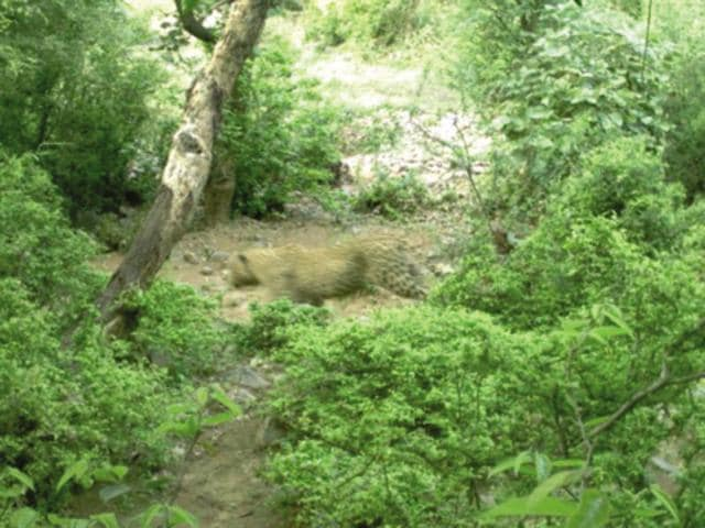 Over the weekend, a camera installed in the Mangar-Bandhwari area captured clear footage of a full-grown leopard, indicating that the forested areas in the region can still serve as a wildlife habitat for Delhi-NCR