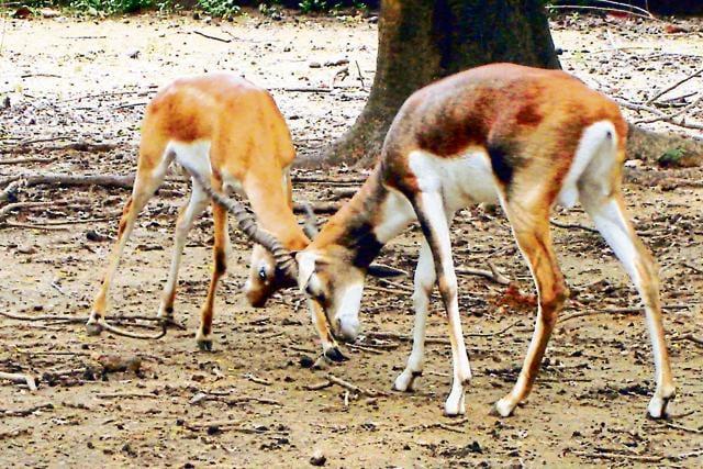 Spread over 30 acres on a hilly terrain of Hangla Pahadi, the Maithon park has 242 deer.