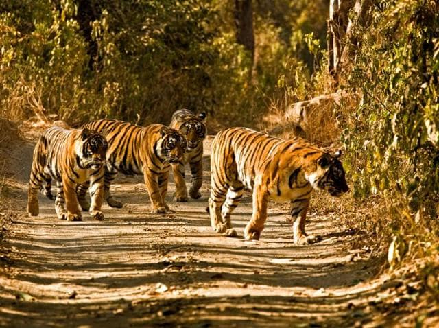 In this file photo, four full-grown tigers are seen walking on a forest track of the Ranthambore Tiger Reserve.(HT Photo)