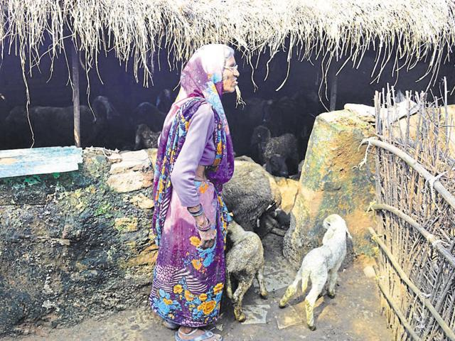 Gwalior's sheep rearing community member Bitto Bai (70) in a small thatched hut with the animals.