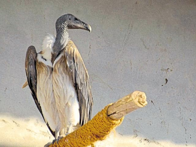 A vulture at the Jatayu Conservation Breeding Centre, Pinjore.