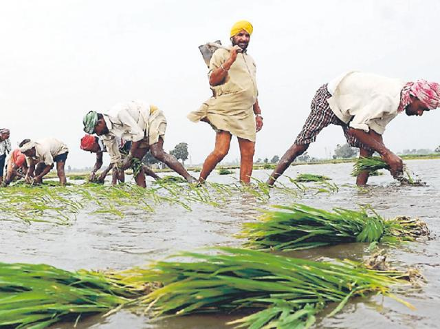Doom for Punjab': Paddy yield to be all-time high, good news or bad? - Hindustan Times