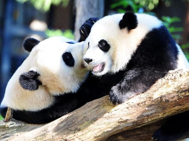 The International Union for Conservation of Nature took the giant panda off its endangered list.