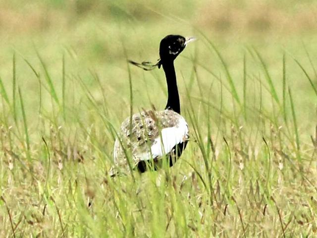 BNHS to study dwindling counts of Lesser Florican in MP