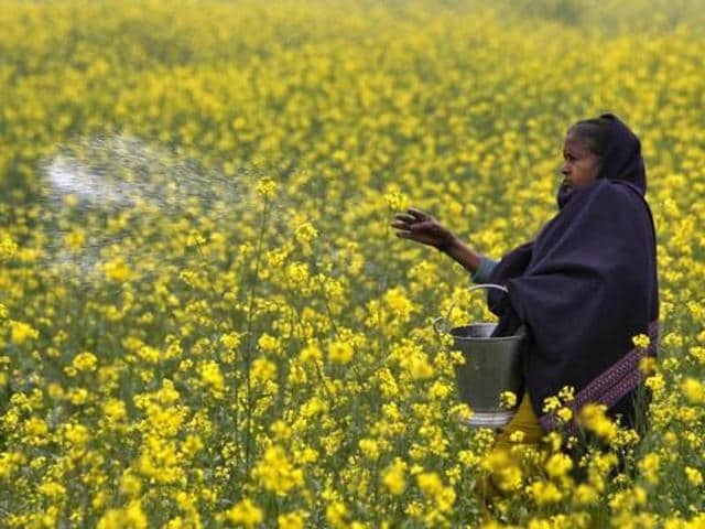 India's biotech regulator is preparing to take a decision on genetically modified mustard.