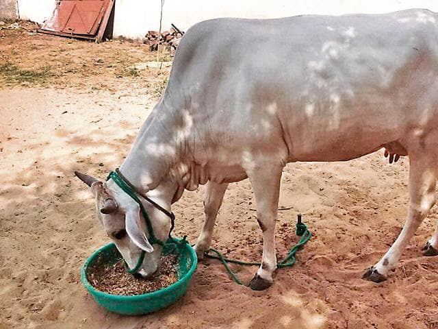 The party had announced that its members will tether stray cows outside residences of all Haryana ministers and make them take care of the cattle as part of 'koonta baandh (tether a cow) drive.