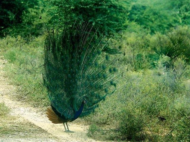 As many as 50 peacocks might lose their natural habitat in Gurgaon as the forest department has given permission to chop 70 trees for the construction of a court building near Rajeev Chowk.