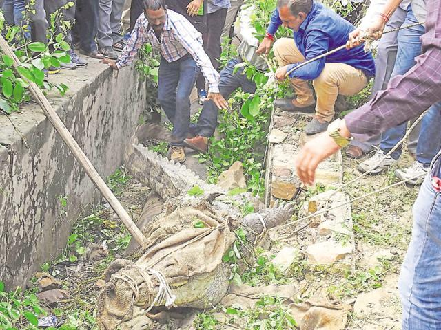People try to rescue a 12-foot-long crocodile  stuck in a drain in the downstream of Kota barrage dam in Kota City recently.