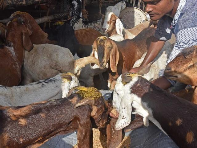Bakri Eid,cow,goats