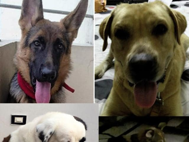 This week, we have a St Bernard, a Labrador, a German Shepherd and an Indie who are looking for loving homes.
